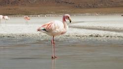 Andean flamingo birds at Laguna Colorada Lake in the Salar de Uyuni salt flats in Bolivia.