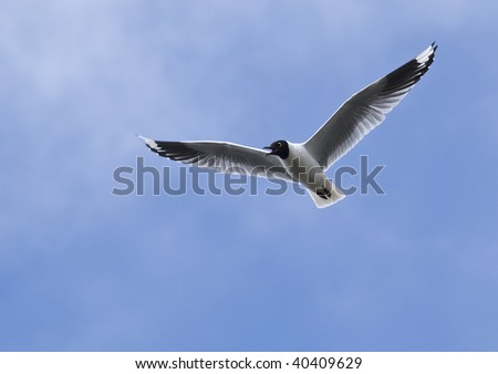 Andean gulls are common to the high Andes, above 10,000 feet