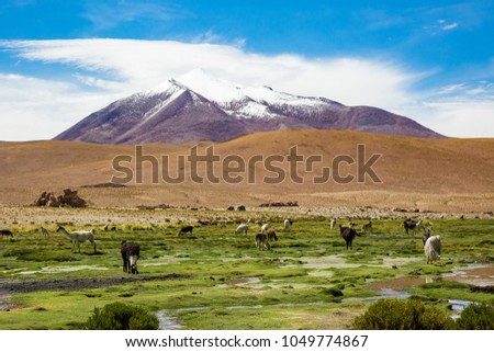 Andes region, Bolivia with llama, lama  on flooded fields due to heavy rains during the  rainy season next to snow covered volcano #1049774867