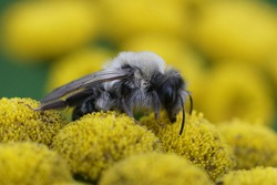 Andrena vaga , female on Tanacetum vulgare - a springtime bee that emerged to soon due to global warming