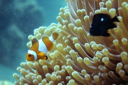 Anemon Fish (Nemo) at Gili Nanggu, Lombok, Indonesia