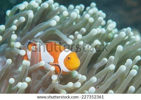 Anemone and anemone fish #227352361
