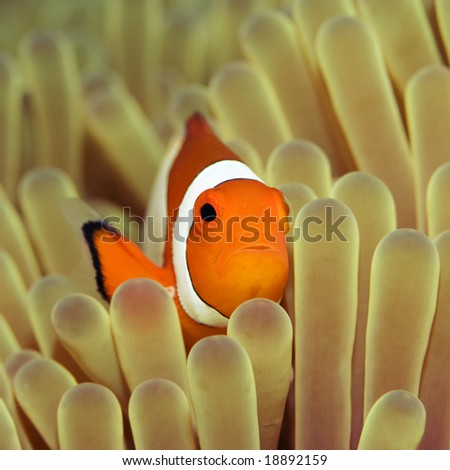 Anemone and Nemofish close-up. Sulawesi. Borneo