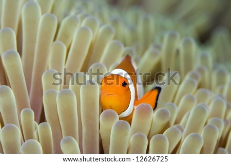 Anemone and Nemoish close-up. Sipadan. Celebes sea