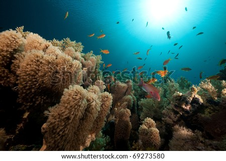 Anemone coral and tropical underwater life in the Red Sea.