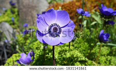 Anemone Coronaria Blue Poppy flower close up on colorful background. Stockfoto ©