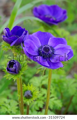 Anemone coronaria 'Mr. Fokker' In Four Stages of Growth Vertical