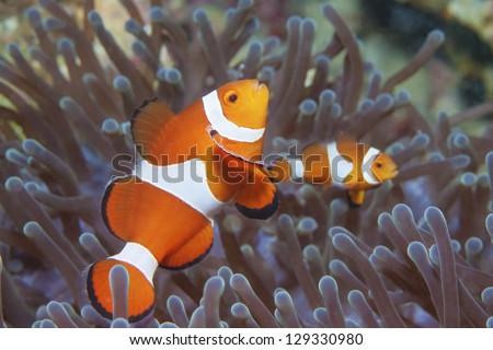 anemone fish #129330980
