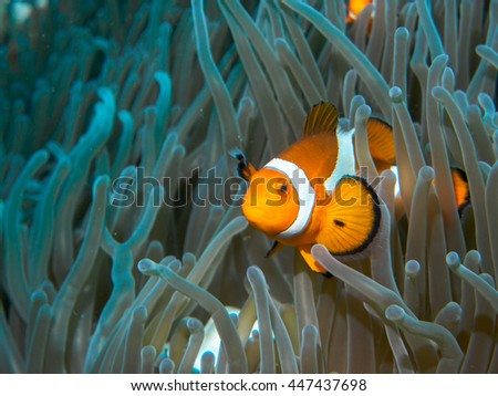 anemone fish at underwater #447437698