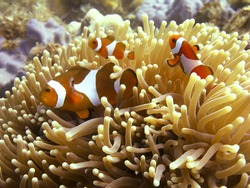 Anemone fish / Clown fish