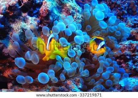 anemone fish  clown fish ...