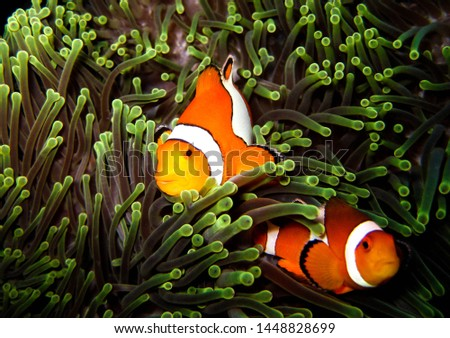 ANEMONE FISH  IN SIMILAN ISLAND #1448828699