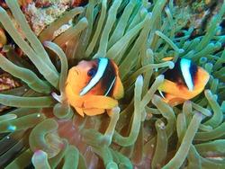 Anemone fish, Nemo fish in red sea