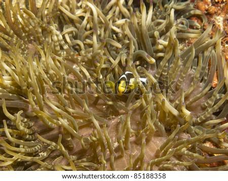 Anemone fish with anemone