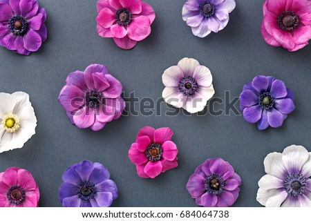 Anemone floral pattern. Colorful pink and purple flowers on a gray background. Top view. Flat lay