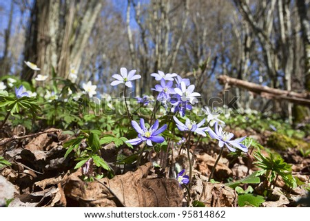 Anemone hepatica in spring forest