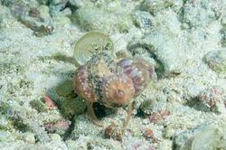 Anemone hermit crab (Dardanus pedunculatus) Moalboal, Philippines