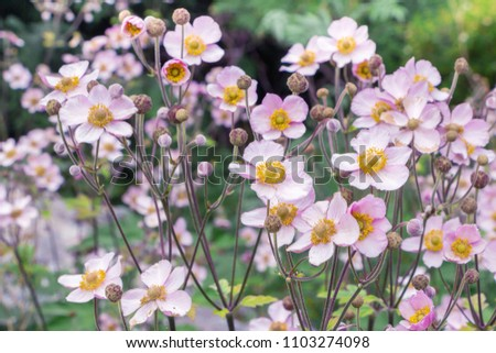 Anemone hupehensis. Commonly known as the Chinese anemone or Japanese anemone, thimbleweed, or windflower. Filled full frame picture. Floral natural delicate background. A lot of small pink flowers.