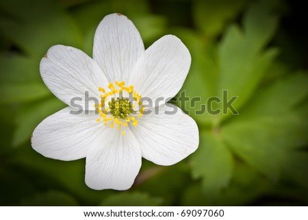 Anemone nemorosa - single white flower