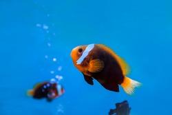 anemonefish underwater in blue water at aquarium.