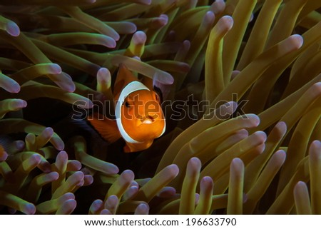 Anemonefish with open mouth - stock photo