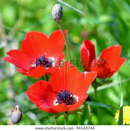 Anemones bloom in the meadow - stock photo