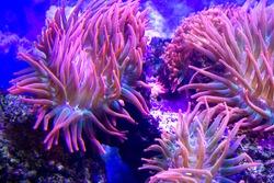 anemones coral reef underwater closeup