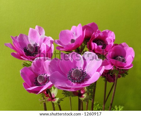 Anemones isolated on green - great springtime shot