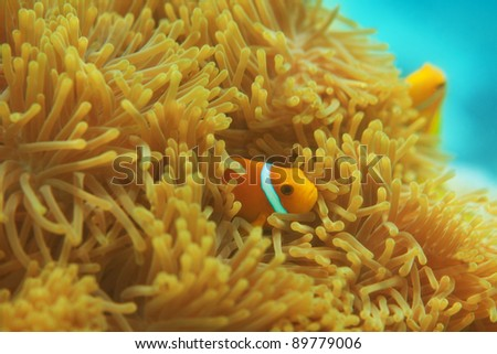 Anemones with small clownfishes hiding between it's tentacles