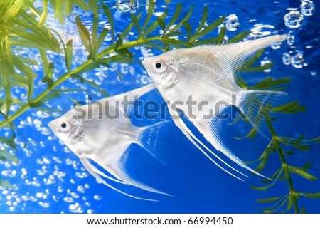 Angel fish and green algae