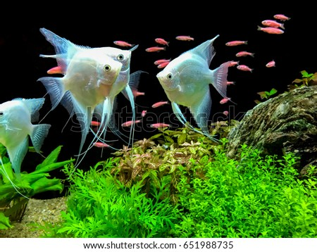 angel fish in fish tank #651988735