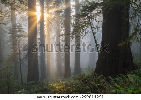 Angel-like sunbeams shine upon ancient redwood tree forest of Northern California.