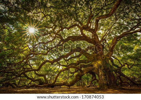 Angel Oak Tree on John's Island, South Carolina. This tree is located near Charleston and is over 1000 years old. It has withstood floods, droughts, fires, and hurricanes. Quite an impressive tree.  #170874053