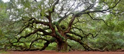 Angel Oak tree on St. Johns Island near Charleston, SC