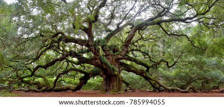 Angel Oak tree on St. Johns Island near Charleston, SC #785994055