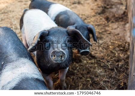 Angeler saddle pigs are raised on the Lindhof experimental farm of the University of Kiel Photo stock ©