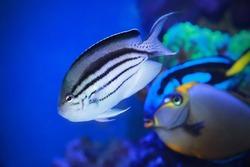 Angelfish - Genicanthus lamarck swimming in sea water.