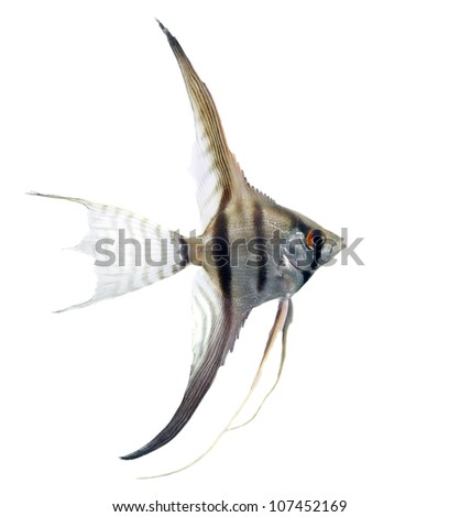 angelfish in profile isolated on whit background