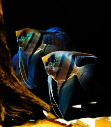 angelfish in their natural habitat. scalare