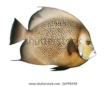 angelfish with clipping path