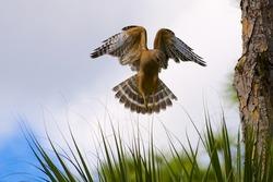 Angelic Red Shouldered Hawk