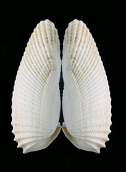 Angelwing (Pholadidae), or piddock shells isolated on black. Species is Cyrtopleura costata and is a bivalve mollusk. Vertical image has room to create copy space in black background.