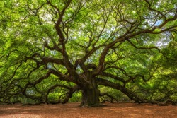 Angle Oak Tree in Johns Island, South Carolina.