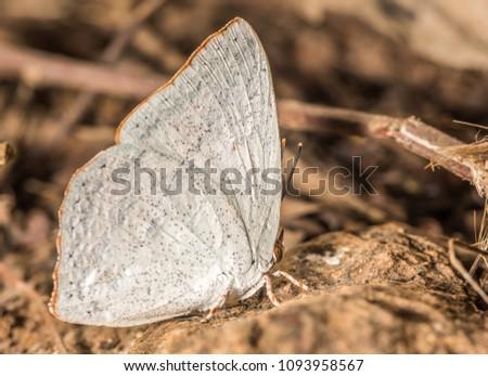 Angled Sunbeam butterfly at Nagla Block #1093958567