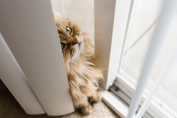 Angled top down view of a sneaky brown long haired adult cat sitting behind long white blinds and looking upward curiously out a large sliding window with soft focus of some blinds