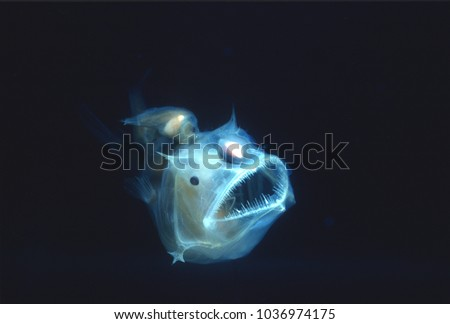Angler fish, Edridolychnus schmidti. The larger female has two smaller parasitic males attached to her body which fertilise her eggs. #1036974175
