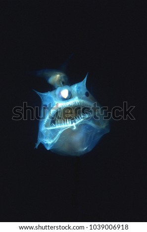 Angler fish with large mouth and teeth. Parasitic male attached to her body #1039006918