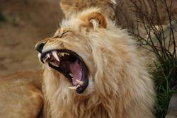 Angola lion, Panthera leo bleyenbergi