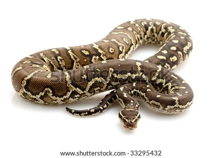 Angolan python (Python anchietae) isolated on white background. - stock photo