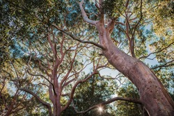 Angophora red gum trees Australian bush